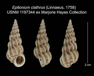 To NMNH Extant Collection (Epitonium clathrus USNM 1197344)