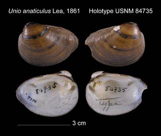 To NMNH Extant Collection (Unio anaticulus Holotype USNM 84735)