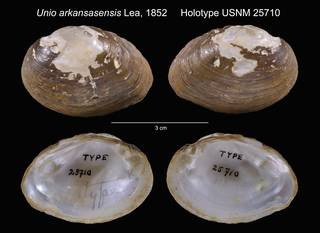 To NMNH Extant Collection (Unio arkansasensis Holotype USNM 25710)