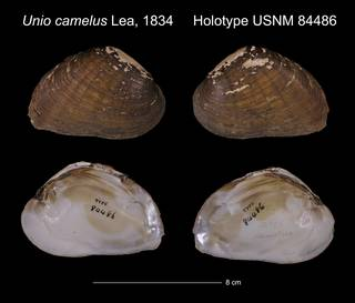 To NMNH Extant Collection (Unio camelus Holotype USNM 84486)