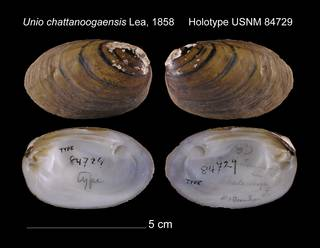 To NMNH Extant Collection (Unio chattanoogaensis Holotype USNM 84729)