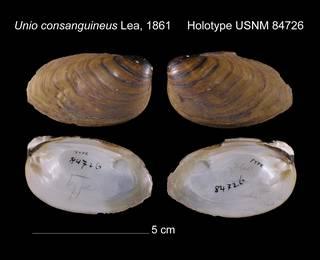 To NMNH Extant Collection (Unio consanguineus Holotype USNM 84726)