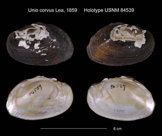 To NMNH Extant Collection (Unio corvus Holotype USNM 84539)