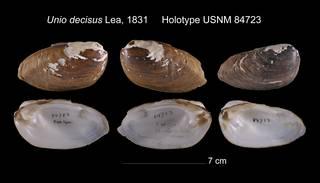 To NMNH Extant Collection (Unio decisus Holotype USNM 84723)
