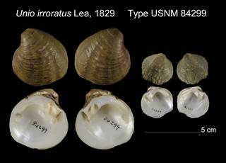 To NMNH Extant Collection (Unio irroratus Type USNM 84299)