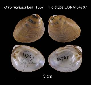 To NMNH Extant Collection (Unio mundus Holotype USNM 84767)