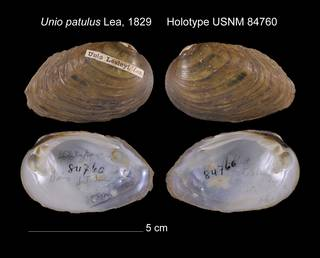 To NMNH Extant Collection (Unio patulus Holotype USNM 84760)
