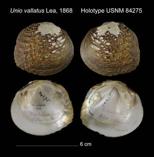 To NMNH Extant Collection (Unio vallatus Holotype USNM 84275)