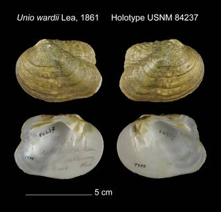 To NMNH Extant Collection (Unio wardii Holotype USNM 84237)