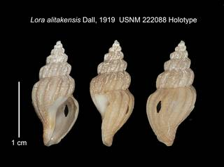 To NMNH Extant Collection (IZ MOL 222088 Holotype Shell Plate)