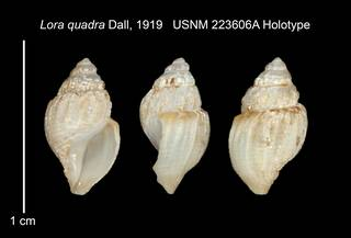 To NMNH Extant Collection (IZ MOL 223606A Holotype Shell Plate)