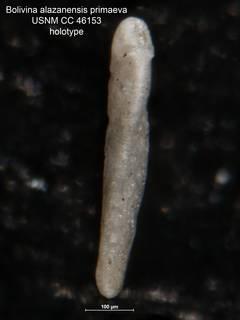 To NMNH Paleobiology Collection (Bolivina alazanensis primaeva CC 46153 holo side)
