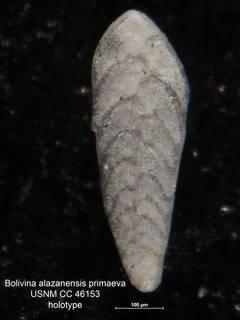 To NMNH Paleobiology Collection (Bolivina alazanensis primaeva CC 46153 holo)