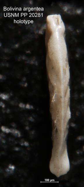 To NMNH Paleobiology Collection (Bolivina argentea PP 20281 holo side)