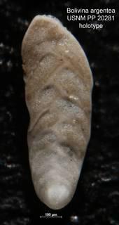 To NMNH Paleobiology Collection (Bolivina argentea PP 20281 holo)