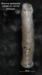 To NMNH Paleobiology Collection (Bolivina barbarana CC 20133 holo side)