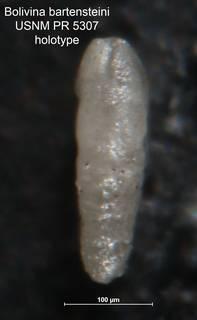 To NMNH Paleobiology Collection (Bolivina bartensteini PR 5307 holo side)