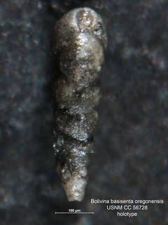 To NMNH Paleobiology Collection (Bolivina basisenta oregonensis CC 56728 holo side)