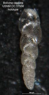 To NMNH Paleobiology Collection (Bolivina capitata CC 17556 holo)