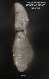 To NMNH Paleobiology Collection (Truncatulina subloba MO 325326 holo 2)