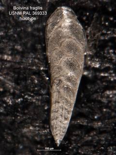 To NMNH Paleobiology Collection (Bolivina fragilis PAL369333 holo)
