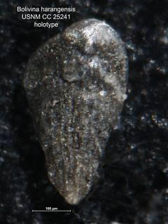 To NMNH Paleobiology Collection (Bolivina harangensis CC 25241 holo)