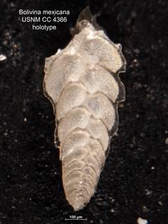To NMNH Paleobiology Collection (Bolivina mexicana CC4366 holo)