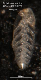 To NMNH Paleobiology Collection (Bolivina oceanica PP26173 holo)
