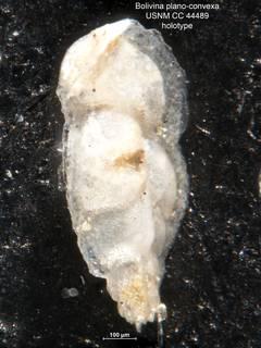 To NMNH Paleobiology Collection (Bolivina plano-convexa CC44489 holo 2)