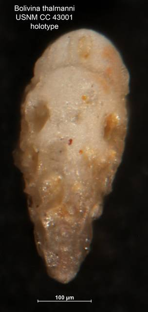 To NMNH Paleobiology Collection (Bolivina thalmanni CC43001 holo 2)