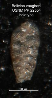 To NMNH Paleobiology Collection (Bolivina vaughani PP22554 holo)