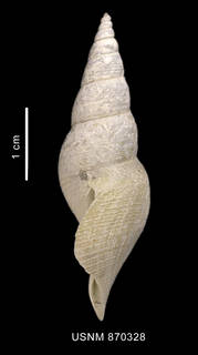To NMNH Extant Collection (Leucosyrin paragenota Powell, 1951 shell lateral view)