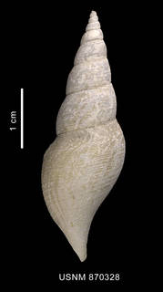 To NMNH Extant Collection (Leucosyrin paragenota Powell, 1951 shell dorsal view)