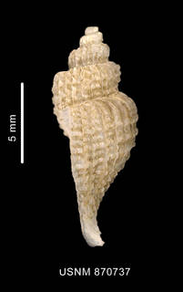 To NMNH Extant Collection (Trophon distantelamellatus Strebel, 1908 shell lateral view)