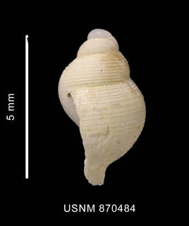 To NMNH Extant Collection (Falsitromina simplex (Powell, 1951) shell lateral view)