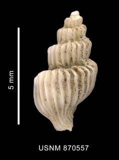 To NMNH Extant Collection (Trophon minutus Strebel, 1907 shell dorsal view)