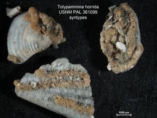 To NMNH Paleobiology Collection (Tolypammina horrida PAL361099  syn1)