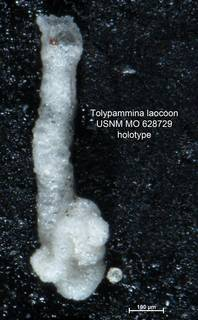 To NMNH Paleobiology Collection (Tolypammina laocoon MO628729 holo 1)