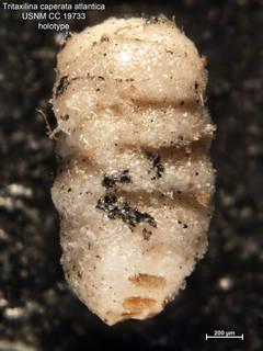 To NMNH Paleobiology Collection (Tritaxilina caperata atlantica CC19733 syn1)