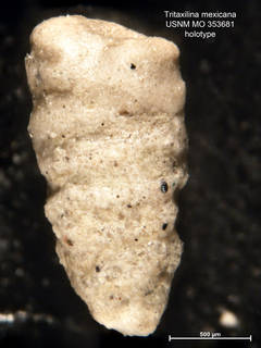 To NMNH Paleobiology Collection (Tritaxilina mexicana MO353681 holo 1)