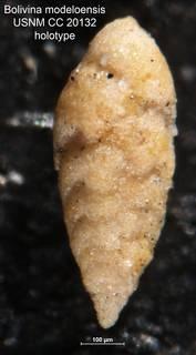 To NMNH Paleobiology Collection (Bolivina modeloensis CC 20132 holo)