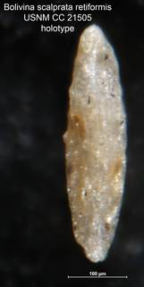 To NMNH Paleobiology Collection (Bolivina scalprata retiformis CC 21505 holo side)