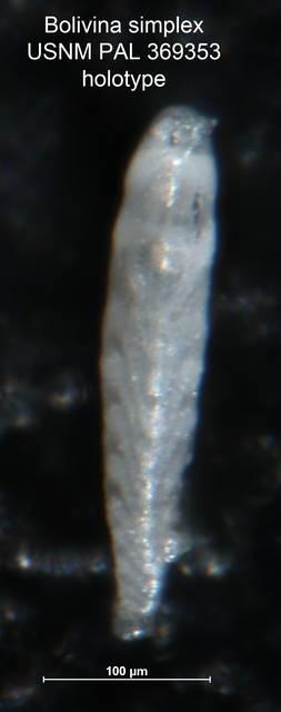 To NMNH Paleobiology Collection (Bolivina simplex PAL 369353 holo side)