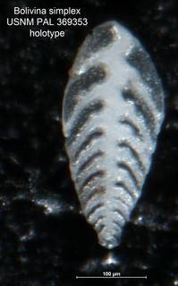 To NMNH Paleobiology Collection (Bolivina simplex PAL 369353 holo)