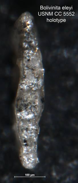 To NMNH Paleobiology Collection (Bolivinita eleyi CC 5552 holo side)