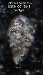 To NMNH Paleobiology Collection (Bolivinita selmensis CC 19043 holo)