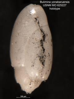 To NMNH Paleobiology Collection (Bulimina yonabaruensis MO625227 holo)