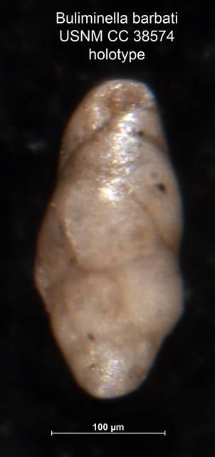 To NMNH Paleobiology Collection (Buliminella barbati CC 38574 holo)