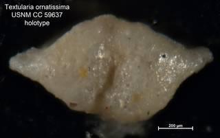 To NMNH Paleobiology Collection (Textularia ornatissima CC59637 holo 2)