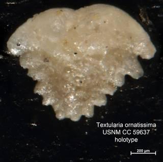 To NMNH Paleobiology Collection (Textularia ornatissima CC59637 holo 1)